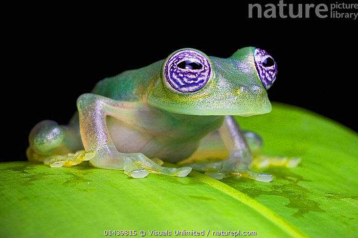 Ghost Glass Frog (Centrolenella ilex), Costa Rica.  ,  AMPHIBIANS,ANURA,BLACK BACKGROUND,CENTRAL AMERICA,CENTROLENIDAE,COPYSPACE,CUTOUT,EYES,FROGS,GLASS FROGS,PORTRAITS,PROFILE,TROPICAL,TROPICS,VERTEBRATES  ,  Visuals Unlimited