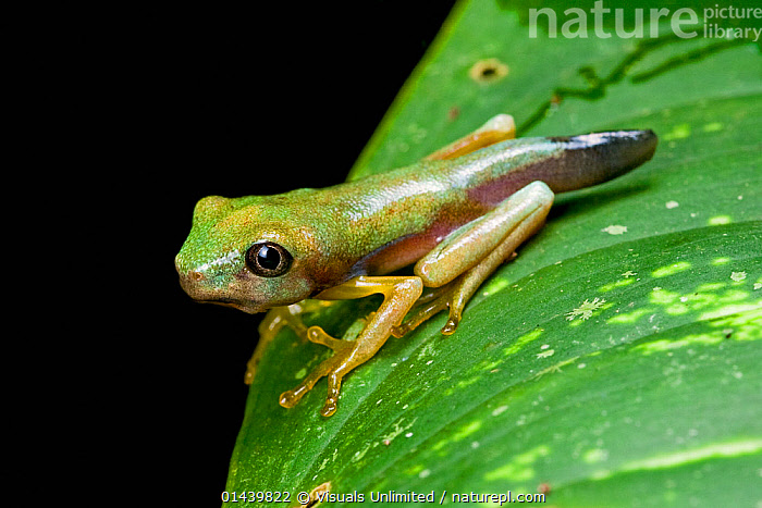 Lemur Leaf Frog (Hylomantis lemur) young froglet still with tadpole tail remnants, Costa Rica.  ,  AMPHIBIANS,BABIES,BLACK BACKGROUND,CENTRAL AMERICA,CRITICALLY ENDANGERED,DEVELOPMENT,FROGLET,HYLIDAE,IMMATURE,JUVENILE,METAMORPHOSIS,PORTRAITS,PROFILE,TADPOLES,TAILS,TREE FROGS,TROPICAL,TROPICS,VERTEBRATES,YOUNG,Growth,Anura,Frogs  ,  Visuals Unlimited