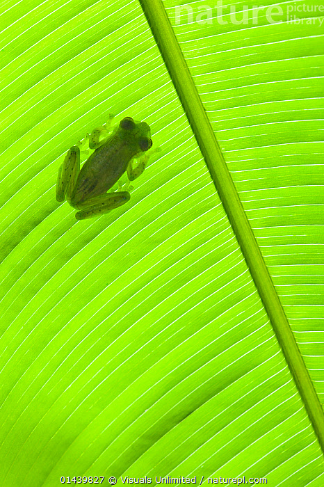 Emerald Glass Frog (Centrolenella prosoblepon), on green palm leaf, Costa Rica  ,  AMPHIBIANS,ANURA,CENTRAL AMERICA,CENTROLENIDAE,COPYSPACE,FROGS,GLASS FROGS,GREEN,LEAVES,PLANTS,PORTRAITS,TRANSPARENT,TROPICAL,TROPICS,VERTEBRATES,VERTICAL  ,  Visuals Unlimited