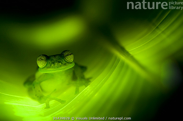 Emerald Glass Frog (Centrolenella prosoblepon), sitting within leaf tunnel, Costa Rica., AMPHIBIANS,ANURA,ARTY SHOTS,ATMOSPHERIC,CENTRAL AMERICA,CENTROLENIDAE,FROGS,GLASS FROGS,GREEN,LEAVES,PLANTS,PORTRAITS,TRANSPARENT,TROPICAL,TROPICS,VERTEBRATES, Visuals Unlimited