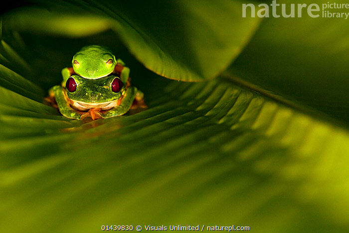 Red eyed Tree Frogs (Agalychnis callidryas) mating couple inbetween leaves, Costa Rica  ,  AMPHIBIANS,AMPLEXUS,ANURA,CENTRAL AMERICA,COPULATION,FROGS,GREEN,LEAVES,MALE FEMALE PAIR,MATING,MATING BEHAVIOUR,TREE FROGS,TROPICAL,TROPICS,VERTEBRATES,Reproduction  ,  Visuals Unlimited