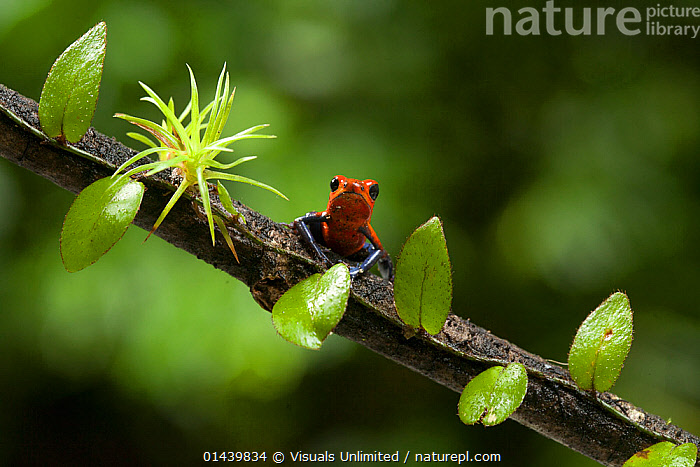 Strawberry Poison Frog (Oophaga pumilio), Costa Rica. These frogs have neurotoxins in their skin and bright colours that warn potential predators.  ,  AMPHIBIANS,ANURA,BRANCHES,CENTRAL AMERICA,COPYSPACE,FROGS,LEAVES,POISON ARROW FROGS,POISONOUS,PORTRAITS,TOXIC,TOXINS,TROPICAL,TROPICS,VERTEBRATES  ,  Visuals Unlimited