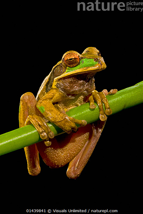 Masked Tree Frog (Smilisca phaeota) portrait at night, Costa Rica  ,  AMPHIBIANS,ANURA,BLACK BACKGROUND,CENTRAL AMERICA,COPYSPACE,CUTOUT,FROGS,NIGHT,NOCTURNAL,PORTRAITS,TREE FROGS,TROPICAL,TROPICS,VERTEBRATES,VERTICAL  ,  Visuals Unlimited