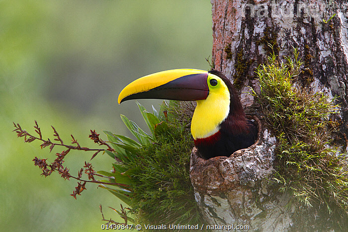 Chestnut mandibled Toucan (Ramphastos swainsonii) nests in hole of rainforest tree, Costa Rica.  ,  BEAKS,BIRDS,CENTRAL AMERICA,NESTING BEHAVIOUR,NESTS,PARENTAL,PORTRAITS,PROFILE,TOUCANS,TREES,TROPICAL,TROPICAL RAINFOREST,TROPICS,VERTEBRATES,PLANTS  ,  Visuals Unlimited