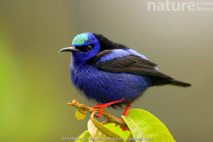 Red-legged Honeycreeper (Cyanerpes cyaneus) male portrait, Costa Rica  ,  BIRDS,CENTRAL AMERICA,COLOURFUL,COPYSPACE,CUTOUT,HONEYCREEPERS,MALES,PORTRAITS,PROFILE,SONGBIRDS,THRAUPIDAE,TROPICAL,TROPICS,VERTEBRATES  ,  Visuals Unlimited