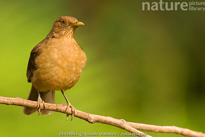 Clay-coloured Thrush / Robin (Turdus grayi), national bird of Costa Rica  ,  BIRDS,CENTRAL AMERICA,CLAY COLOURED ROBIN,COPYSPACE,CUTOUT,PORTRAITS,PROFILE,SONGBIRDS,THRUSHES,TROPICAL,TROPICS,TURDIDAE,VERTEBRATES  ,  Visuals Unlimited