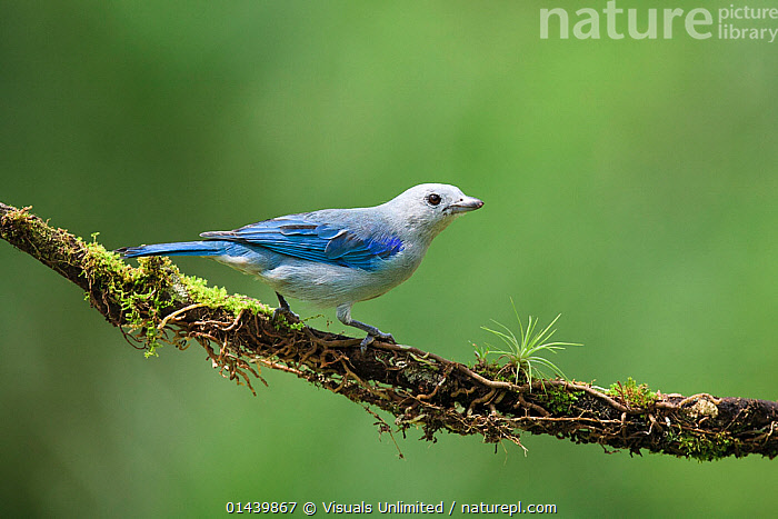Blue-gray Tanager (Thraupis episcopus) on cloud forest branch, Costa Rica.  ,  BIRDS,BLUE GREY,CENTRAL AMERICA,COPYSPACE,CUTOUT,MALES,PORTRAITS,PROFILE,SONGBIRDS,TANAGERS,THRAUPIDAE,TROPICAL,TROPICS,VERTEBRATES  ,  Visuals Unlimited