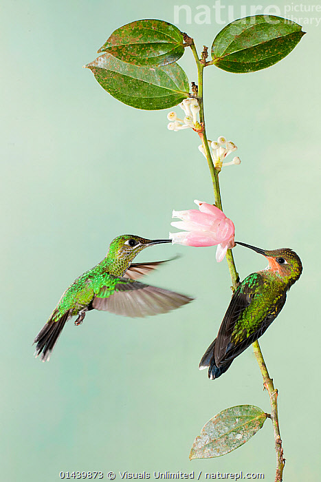 Green crowned Brilliants (Heliodoxa jacula) two feeding and pollinating Ericaceae flower, Costa Rica  ,  BIRDS,CENTRAL AMERICA,COPYSPACE,FEEDING,FLOWERS,HOVERING,HUMMINGBIRDS,IRRIDESCENT,MALES,PLANTS,POLLINATING,PROFILE,TROPICAL,TROPICS,VERTEBRATES,VERTICAL  ,  Visuals Unlimited