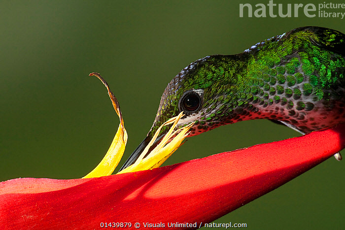 Green crowned Brilliant (Heliodoxa jacula) close up of feeding at Heliconia flower, Costa Rica  ,  BIRDS,CENTRAL AMERICA,CLOSE UPS,FEEDING,FLOWERS,HEADS,HUMMINGBIRDS,IRRIDESCENT,MALES,NECTAR,NECTARING,PLANTS,PORTRAITS,PROFILE,TROPICAL,TROPICS,VERTEBRATES  ,  Visuals Unlimited