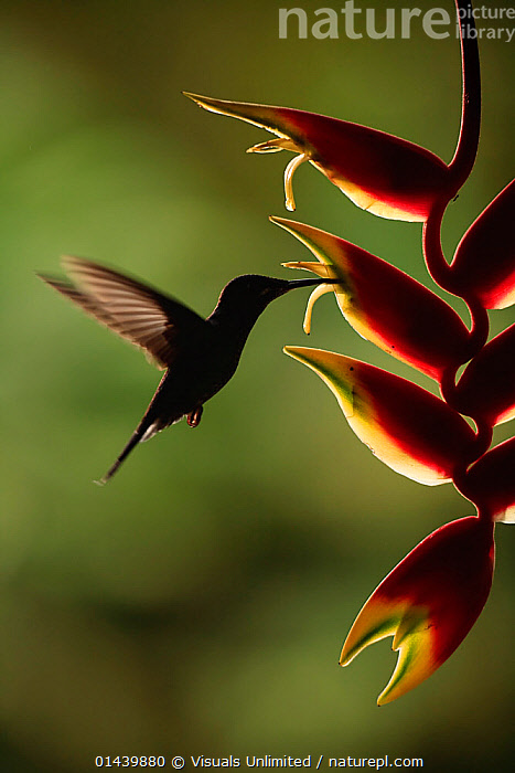Green crowned Brilliant (Heliodoxa jacula) feeding at Heliconia flower at dusk, Costa Rica  ,  ATMOSPHERIC,BACKLIT,BIRDS,CENTRAL AMERICA,COPYSPACE,DUSK,EVENING,FEEDING,FLIGHT,FLOWERS,FLYING,HOVERING,HUMMINGBIRDS,OUTLINE,PLANTS,SILHOUETTES,SUNSET,TROPICAL,TROPICS,VERTEBRATES,VERTICAL  ,  Visuals Unlimited