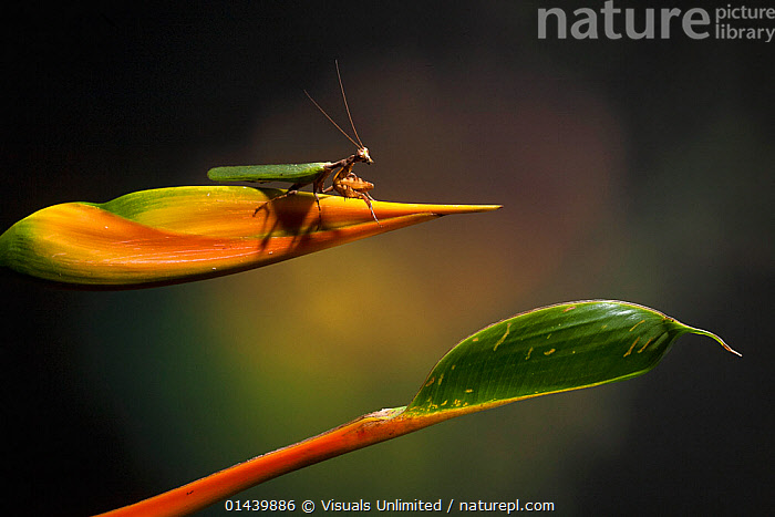 Praying Mantis (Acanthops) on a Heliconia flower, Costa Rica  ,  ARTHROPODS,CENTRAL AMERICA,COPYSPACE,FLOWERS,INSECTS,INVERTEBRATES,MANTIDS,MANTODEA,PLANTS,PROFILE,TROPICAL,TROPICS  ,  Visuals Unlimited