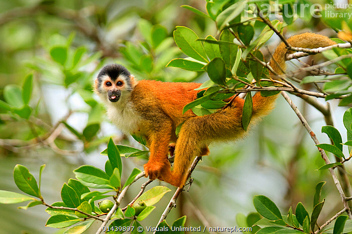 Black crowned Central American Squirrel Monkey (Saimiri oerstedii oerstedii), an endangered species in Costa Rica and Panama  ,  ARBOREAL,CEBIDAE,CENTRAL AMERICA,ENDANGERED,MAMMALS,MONKEYS,PORTRAITS,PRIMATES,PROFILE,SQUIRREL MONKEYS,TREES,TROPICAL,TROPICS,VERTEBRATES,VULNERABLE,PLANTS  ,  Visuals Unlimited