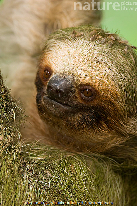 Hoffmann's Two-Toed Sloth (Choloepus hoffmanni), head portrait, the green is algae in the fur, Costa Rica.  ,  ALGAE,CENTRAL AMERICA,EDENTATES,FACES,FUR,HEADS,MAMMALS,MEGALONYCHIDAE,PORTRAITS,SLOTHS,TROPICAL,TROPICS,VERTEBRATES,VERTICAL,Plants  ,  Visuals Unlimited