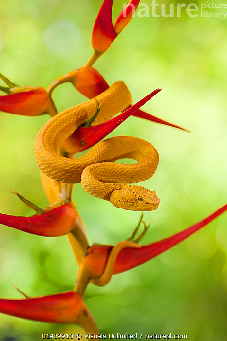 Eyelash PitViper (Bothriechis schlegelii) on Heliconia flower, Costa Rica.  ,  CENTRAL AMERICA,COILED,COPYSPACE,CUTOUT,FLOWERS,PITVIPERS,PLANTS,PORTRAITS,PROFILE,REPTILES,SNAKES,SQUAMATES,TROPICAL,TROPICS,VERTEBRATES,VERTICAL,VIPERS  ,  Visuals Unlimited