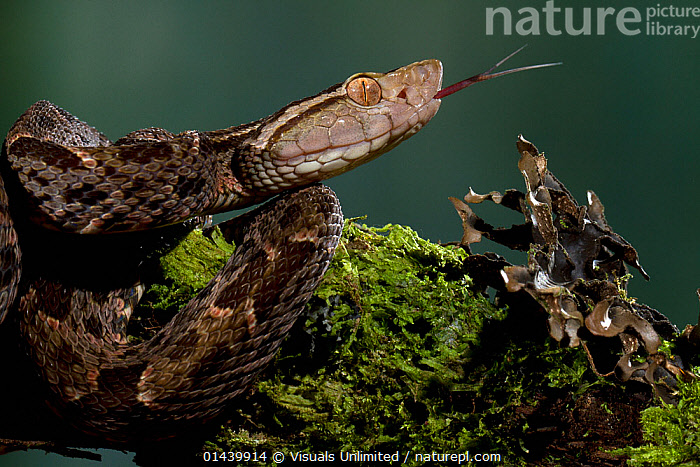 Central American Lancehead / Fer-de-lance (Bothrops asper) head profile with tongue flicking, Costa Rica. Captive.  ,  CAPTIVE,CENTRAL AMERICA,CLOSE UPS,FACES,HEADS,PORTRAITS,PROFILE,REPTILES,SCENTING,SMELLING,SNAKES,TONGUES,TROPICAL,TROPICS,VERTEBRATES,VIPERS  ,  Visuals Unlimited
