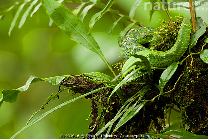 Side striped Palm Pit Viper (Bothriechis lateralis), Costa Rica.  ,  CAMOUFLAGE,CENTRAL AMERICA,GREEN,LEAVES,PIT VIPERS,PORTRAITS,PROFILE,REPTILES,SNAKES,TROPICAL,TROPICS,VERTEBRATES,Vipers  ,  Visuals Unlimited