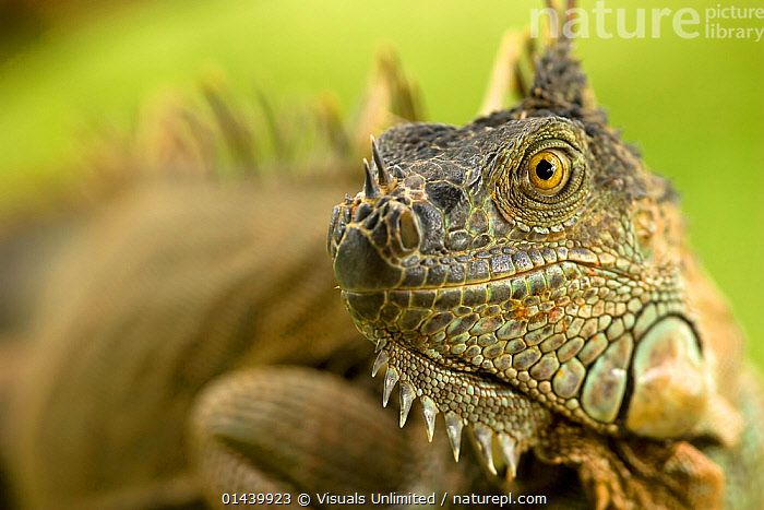 Common / Green Iguana (Iguana iguana), Costa Rica.  ,  CENTRAL AMERICA,CLOSE UPS,FACES,HEADS,IGUANAS,IGUANIDAE,LIZARDS,PORTRAITS,PROFILE,REPTILES,SKIN,TROPICAL,TROPICS,VERTEBRATES,,Lizards,,,Lizards,  ,  Visuals Unlimited
