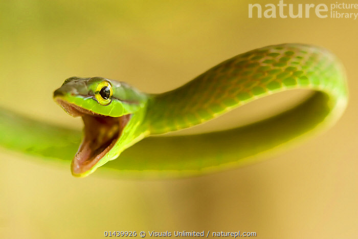Satiny Parrot Snake (Leptophis depressirostris) mouth open in defence, Costa Rica.  ,  AGGRESSION,CENTRAL AMERICA,COLUBRIDS,COPYSPACE,CUTOUT,DEFENSIVE,MOUTHS,PORTRAITS,PROFILE,REPTILES,SNAKES,TROPICAL,TROPICS,VERTEBRATES,WARNING,Behaviour  ,  Visuals Unlimited