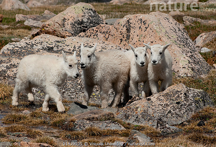 Mountain Goat (Oreamnos americanus) four kids together, Mount Evans, Colorado, USA.  ,  ARTIODACTYLA,BOVIDAE,CAMOUFLAGE,GOATS,GROUPS,HIGHLANDS,JUVENILE,KIDS,MAMMALS,MOUNTAINS,NORTH AMERICA,ROCKIES,USA,VERTEBRATES,YOUNG  ,  Visuals Unlimited