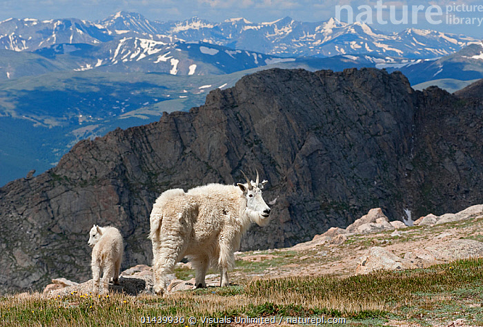 Mountain Goat (Oreamnos americanus) female with kid, Mount Evans, Colorado, USA.  ,  ARTIODACTYLA,BABIES,BOVIDAE,FEMALES,GOATS,HABITAT,HIGHLANDS,JUVENILE,KIDS,LANDSCAPES,MAMMALS,MOTHER AND YOUNG,MOUNTAINS,NORTH AMERICA,ROCKIES,USA,VERTEBRATES,YOUNG  ,  Visuals Unlimited