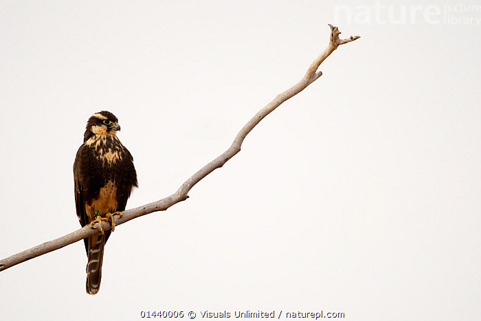 Aplomado Falcon (Falco femoralis), New Mexico, USA.  ,  BIRDS,BIRDS OF PREY,COPYSPACE,CUTOUT,FALCONS,NORTH AMERICA,PORTRAITS,PROFILE,USA,VERTEBRATES  ,  Visuals Unlimited