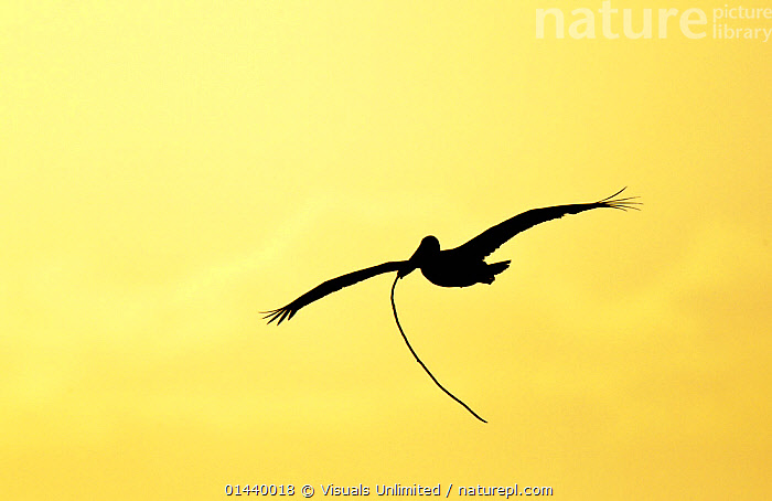 Brown Pelican (Pelecanus occidentalis) silhouetted in flight at dusk with nesting material, Alafia Banks, Tampa Bay, Florida, USA.  ,  BIRDS,COPYSPACE,DAWN,DUSK,FLIGHT,FLYING,NESTING BEHAVIOUR,NESTS,NORTH AMERICA,OUTLINE,PELICANIDAE,PELICANS,SEABIRDS,SILHOUETTES,SKIES,USA,VERTEBRATES  ,  Visuals Unlimited