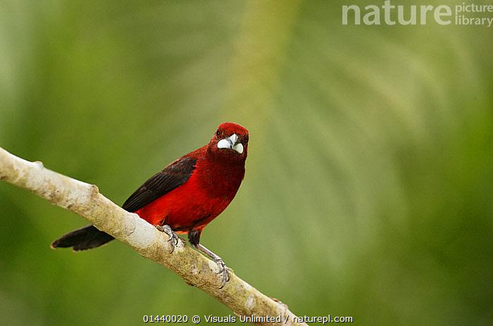 Crimson backed Tanager (Ramphocelus dimidiatus), Gamboa Reserve, Panama.  ,  BIRDS,CENTRAL AMERICA,COPYSPACE,CUTOUT,PORTRAITS,PROFILE,SONGBIRDS,TANAGERS,THRAUPIDAE,TROPICAL,TROPICS,VERTEBRATES  ,  Visuals Unlimited