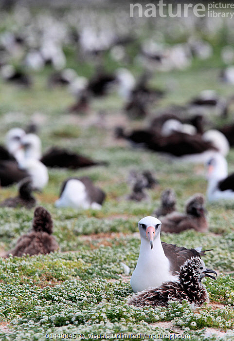 Laysan Albatross (Phoebastria immutabilis) breeding colony on nesting ground, Midway Atoll National Wildlife Refuge, Hawaii, USA.  ,  ALBATROSSES,BABIES,BIRDS,CHICKS,COLONY,DIOMEDEA IMMUTABILIS,GROUPS,ISLANDS,MASS,NESTING BEHAVIOUR,NESTS,NORTH AMERICA,PACIFIC OCEAN,REPRODUCTION,SEABIRDS,TROPICAL,TROPICS,USA,VERTEBRATES,VERTICAL  ,  Visuals Unlimited