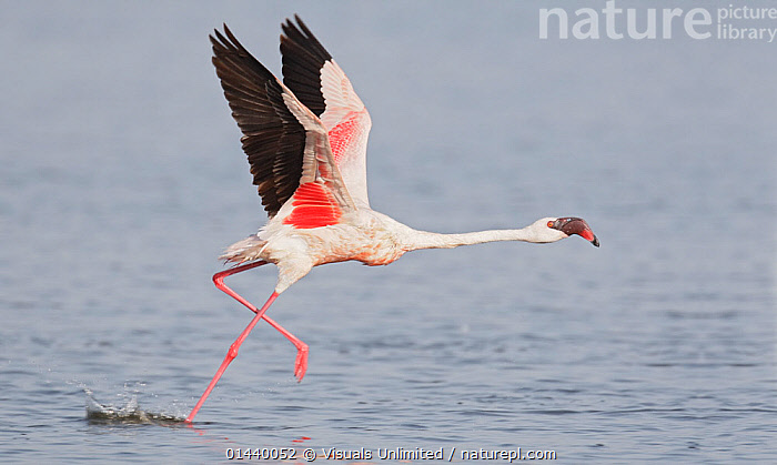 Lesser Flamingo (Phoenicopterus minor) running for take off from lake, Kenya, East Africa.  ,  ACTION,AFRICA,BIRDS,EAST AFRICA,FLAMINGOS,LAKES,MOTION,MOVEMENT,PORTRAITS,PROFILE,RUNNING,TAKING OFF,VERTEBRATES,WATER,WINGS  ,  Visuals Unlimited