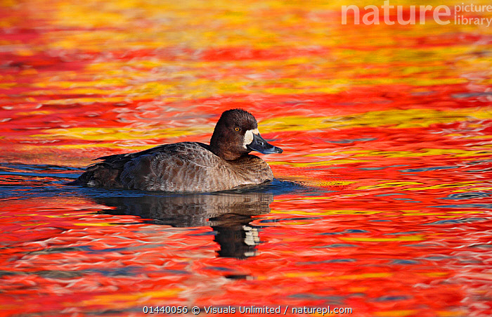 Lesser Scaup (Aythya affinis) female on water with autumn colours reflected from shoreline, California, USA.  ,  AUTUMN,BIRDS,DUCKS,FEMALES,NORTH AMERICA,PORTRAITS,PROFILE,SWIMMING,USA,VERTEBRATES,WATER,WATERFOWL  ,  Visuals Unlimited