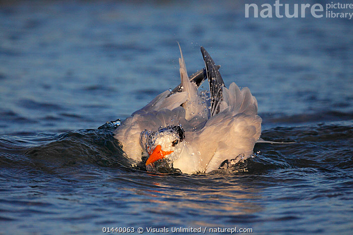 Royal Tern (Sterna maxima) bathing head in water, Florida, USA.  ,  ACTION,BATHING,BIRDS,CLEANING,GROOMING,NORTH AMERICA,SEA,SEABIRDS,SPLASHING,SURFACE,TERNS,USA,VERTEBRATES  ,  Visuals Unlimited