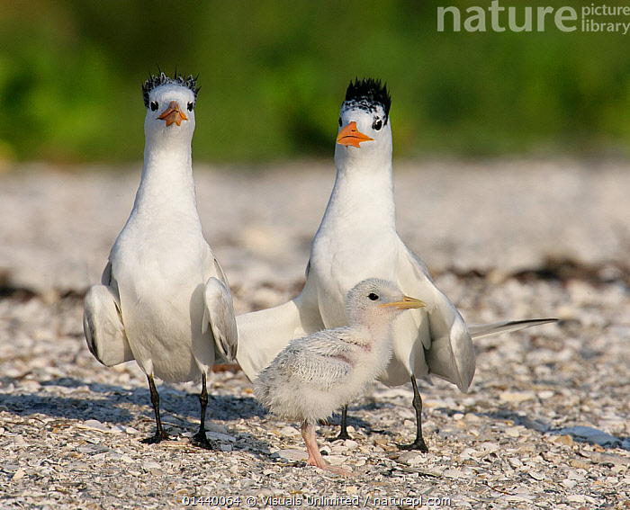 Royal Tern (Sterna maxima) family with small chick on beach, Florida, USA.  ,  BABIES,BIRDS,BREEDING,CHICKS,FAMILIES,GUARDING,NORTH AMERICA,PARENTAL,SEABIRDS,TERNS,USA,VERTEBRATES,YOUNG  ,  Visuals Unlimited