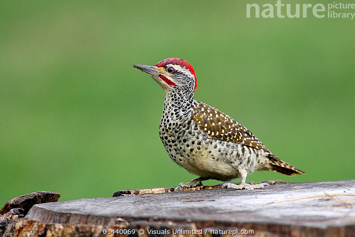 Nubian Woodpecker (Campethera nubica), Kenya  ,  AFRICA,BIRDS,COPYSPACE,CUTOUT,EAST AFRICA,PORTRAITS,PROFILE,VERTEBRATES,WOODPECKERS  ,  Visuals Unlimited