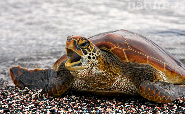 Green Turtle (Chelonia mydas) arriving on beach, Galapagos  ,  BEACHES,CHELONIA,COASTS,COMMUNICATION,ENDANGERED,GALAPAGOS,ISLANDS,MARINE,PORTRAITS,REPTILES,SEA,SEA TURTLES,SOUTH AMERICA,TURTLES,VOCALISATION  ,  Visuals Unlimited