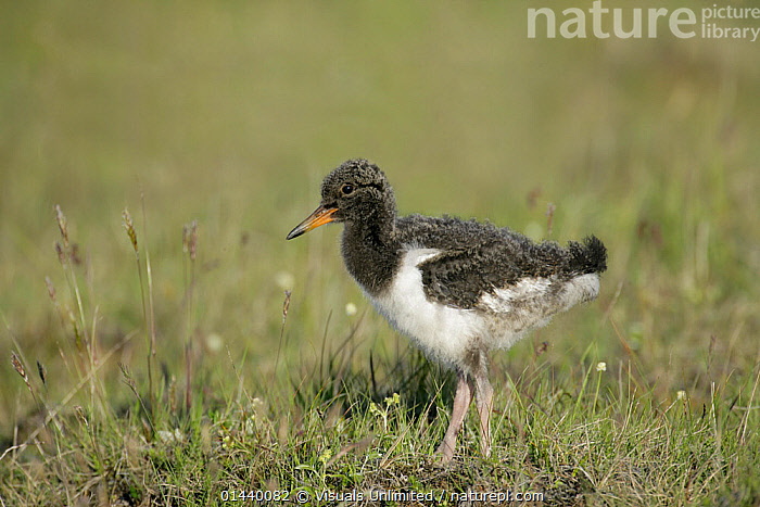 Redshank (Tringa totanus) chick portrait, Iceland  ,  BABIES,BIRDS,CHICKS,EUROPE,ICELAND,JUVENILE,PORTRAITS,PROFILE,SANDPIPERS,SCOLOPACIDAE,VERTEBRATES,WADERS,YOUNG  ,  Visuals Unlimited