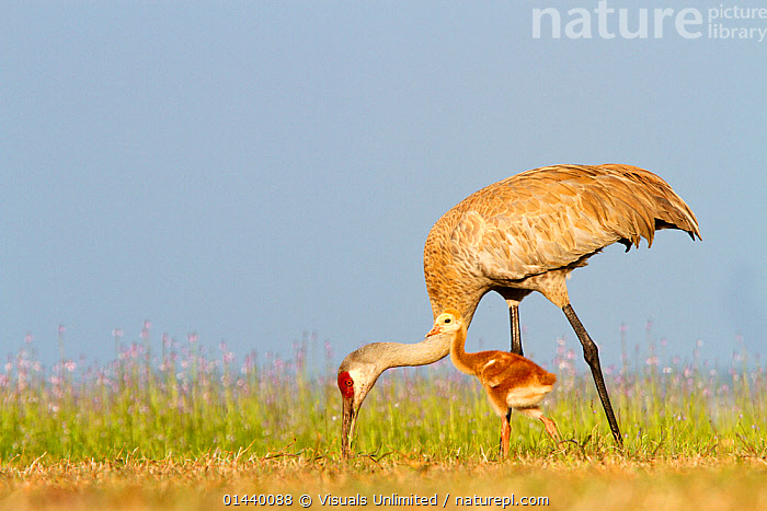 Sandhill Crane (Grus canadensis) adult feeding with small chick, Florida, USA  ,  BABIES,BIRDS,CHICKS,COPYSPACE,CRANES,FEEDING,FEMALES,JUVENILE,MOTHER AND YOUNG,NORTH AMERICA,PORTRAITS,PROFILE,USA,VERTEBRATES,YOUNG  ,  Visuals Unlimited
