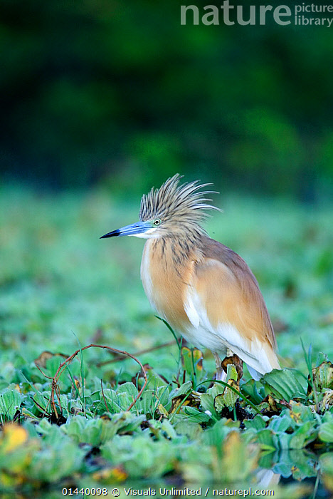 Squacco Heron (Ardeola ralloides) with crest feathers raised, in wetlands, Kenya  ,  AFRICA,BIRDS,EAST AFRICA,FEATHERS,HERONS,PORTRAITS,PROFILE,VERTEBRATES,VERTICAL,WETLANDS  ,  Visuals Unlimited