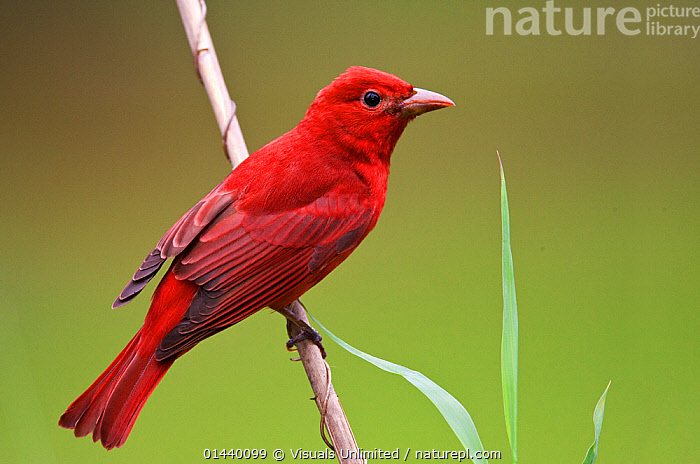 Summer Tanager (Piranga rubra) male portrait, Alabama, USA  ,  BIRDS,CARDINALIDAE,COPYSPACE,CUTOUT,MALES,NORTH AMERICA,PORTRAITS,PROFILE,RED,SONGBIRDS,TANAGERS,USA,VERTEBRATES  ,  Visuals Unlimited
