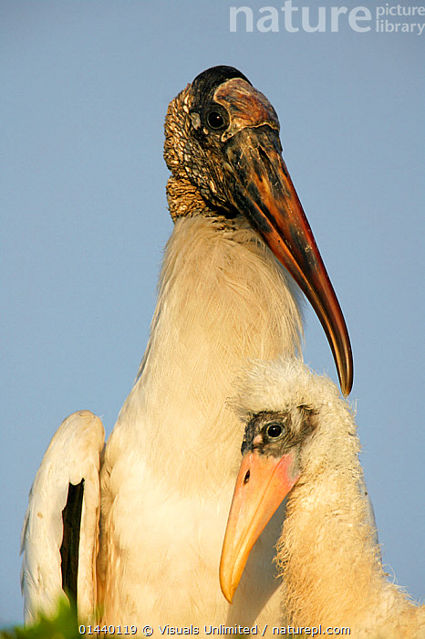American Wood ibis (Mycteria americana) with chick at nest, Florida, USA  ,  BABIES,BIRDS,CHICKS,COPYSPACE,FACES,HEADS,JUVENILE,MOTHER AND YOUNG,NORTH AMERICA,PORTRAITS,STORKS,USA,VERTEBRATES,VERTICAL,WOOD STORK,YOUNG  ,  Visuals Unlimited