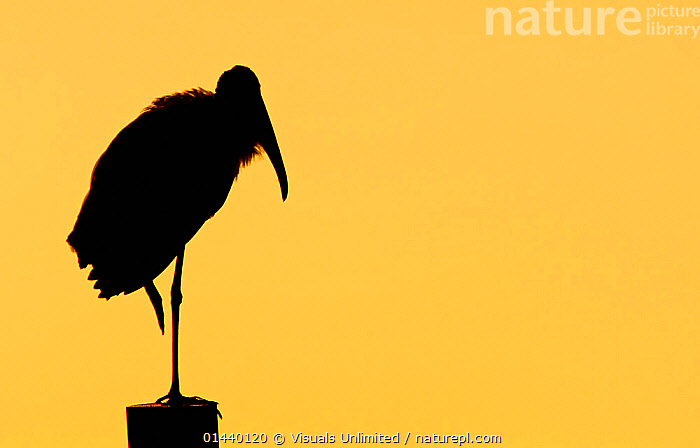 American Wood Ibis (Mycteria americana) silhouetted at dusk, Florida, USA  ,  BIRDS,COPYSPACE,DUSK,NORTH AMERICA,OUTLINE,SILHOUETTES,STORKS,SUNSET,USA,VERTEBRATES,WOOD STORK  ,  Visuals Unlimited