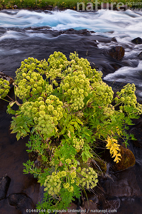 Cow Parsnip (Heracleum) along a mountain stream, Iceland  ,  APIACEAE,DICOTYLEDONS,EUROPE,ICELAND,PLANTS,PORTRAITS,RIVERS,UMBELLIFERAE,VERTICAL  ,  Visuals Unlimited