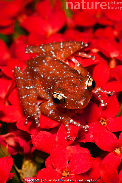 Cinnamon Frog (Nyctixalus pictus), Borneo.  ,  ANURA,ASIA,FLOWERS,FROGS,OVERHEAD,PORTRAITS,RED,SOUTH EAST ASIA,TREEFROGS,TROPICAL,TROPICS,VERTEBRATES,VERTICAL  ,  Visuals Unlimited