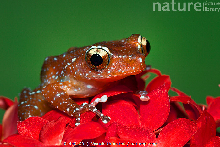 Cinnamon Frog (Nyctixalus pictus), Borneo.  ,  ANURA,ASIA,CLOSE UPS,COPYSPACE,CUTOUT,FLOWERS,FROGS,PORTRAITS,SOUTH EAST ASIA,TREEFROGS,TROPICAL,TROPICS,VERTEBRATES  ,  Visuals Unlimited