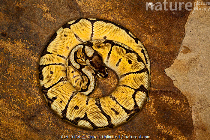 Ball Python (Python regius) yellow colour morph, coiled tightly, captive  ,  BEHAVIOUR,CAPTIVE,COILED,CONSTRICTORS,CRYPTIC,MARKINGS,OVERHEAD,PYTHONS,REPTILES,SNAKES,VERTEBRATES  ,  Visuals Unlimited