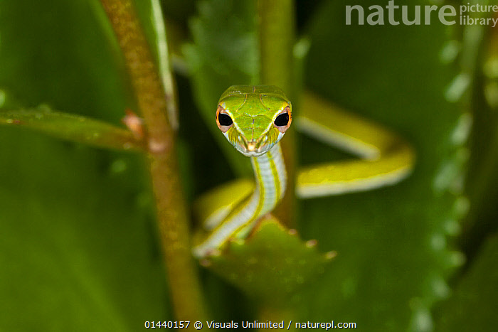 Green Vine Snake (Ahaetulla nasuta), Vietnam  ,  ASIA,COLUBRIDS,GREEN,LOOKING AT CAMERA,PORTRAITS,REPTILES,SNAKES,SOUTH EAST ASIA,TROPICAL,TROPICS,VERTEBRATES  ,  Visuals Unlimited