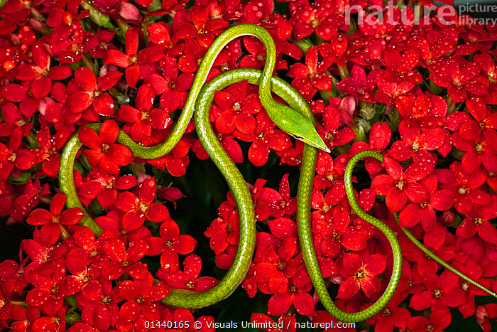 Green Vine Snake (Ahaetulla nasuta) curled around red flowers, viewed from above, Vietnam.  ,  ASIA,COLUBRIDS,FLOWERS,OVERHEAD,PORTRAITS,REPTILES,SNAKES,SOUTH EAST ASIA,THIN,TROPICAL,TROPICS,VERTEBRATES  ,  Visuals Unlimited