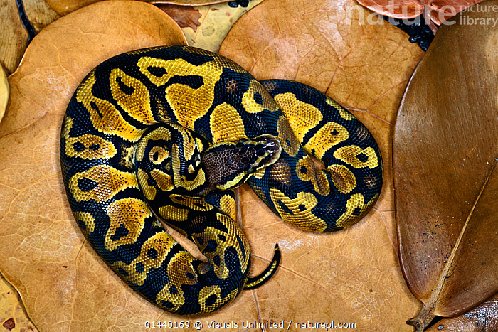 Ball Python (Python regius) captive  ,  CAPTIVE,COILED,CONSTRICTORS,MORPH,OVERHEAD,PYTHONS,REPTILES,SNAKES,VERTEBRATES  ,  Visuals Unlimited