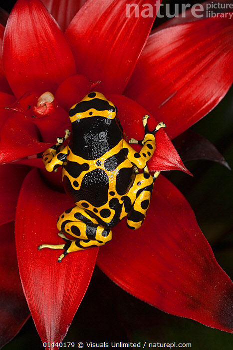 Yellow banded Poison Arrow Frog (Dendrobates leucomelas) climbing red flower, Venezuela.  ,  AMPHIBIANS,ANURA,FLOWERS,FROGS,POISON ARROW FROGS,PORTRAITS,SOUTH AMERICA,TROPICAL,TROPICS,VERTEBRATES,VERTICAL  ,  Visuals Unlimited