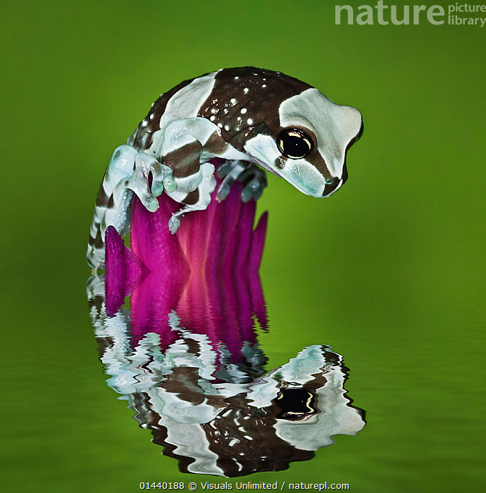 Milk Frog (Trachycephalus resinifictrix) looking at its reflection in water, captive  ,  AMPHIBIANS,ANURA,CAPTIVE,COPYSPACE,CURIOUS,CUTOUT,FROGS,LOOKING,PORTRAITS,PROFILE,REFLECTIONS,SQUARE ,TREE FROGS,TROPICAL,TROPICS,VERTEBRATES,VERTICAL,WATER  ,  Visuals Unlimited