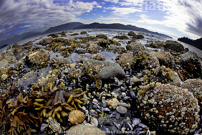 Wide angle view of Kelp, Mussels and Barnacles visible at low tide in Howe Sound, British Columbia, Canada.  ,  BEACHES,CANADA,HABITAT,LANDSCAPES,LITTORAL,LOW TIDE,MARINE,MIXED SPECIES,NORTH AMERICA,SEAWEED,SHORELINE,TIDAL,WIDE ANGLE,Intertidal,Plants  ,  Visuals Unlimited